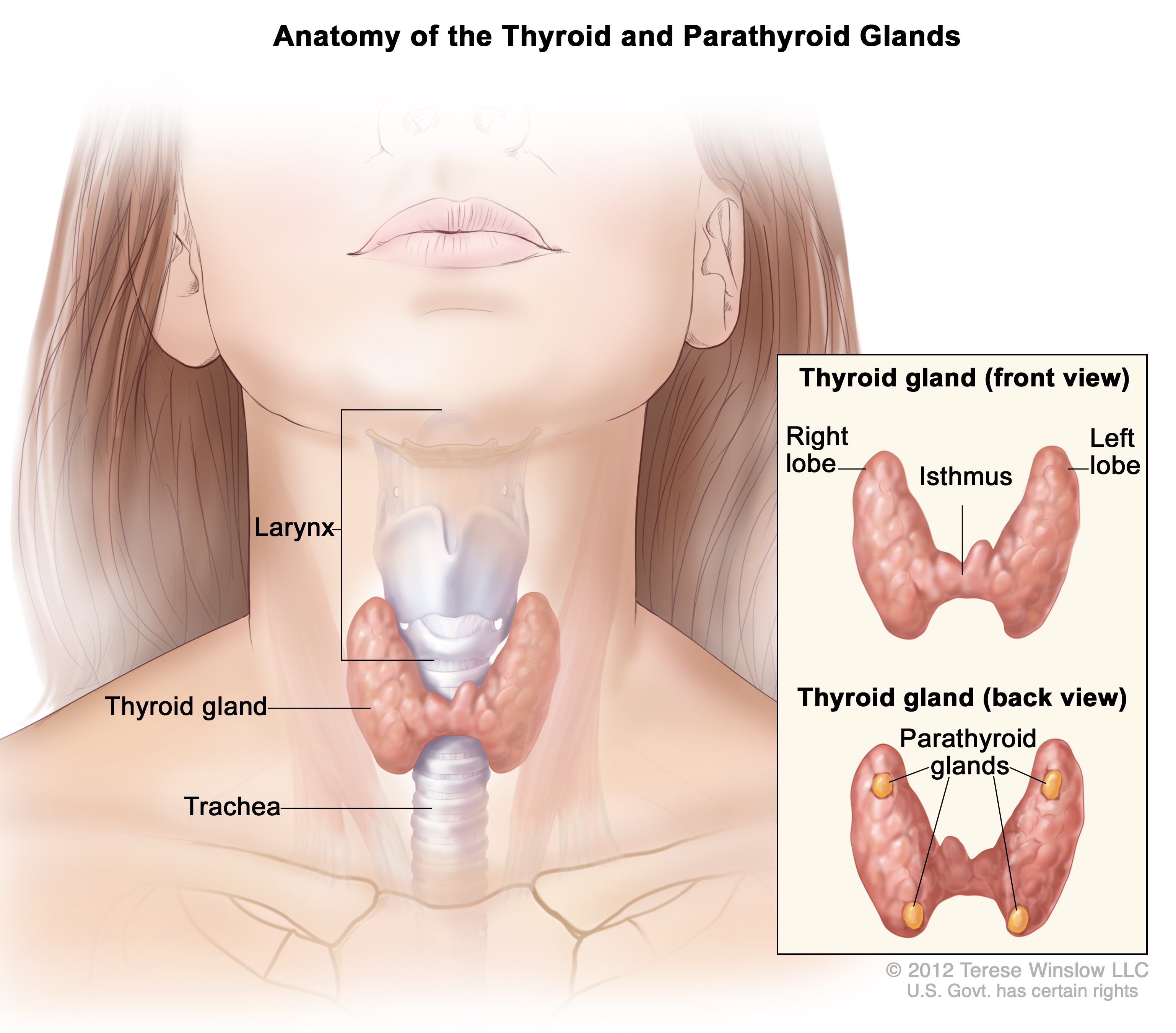 Anatomy of the Thyroid and Parathyroid Glands